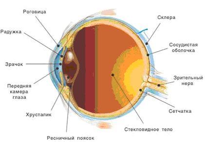 Глазное яблоко.  Глаз можно назвать сложным оптическим прибором.  Его основная задача